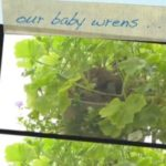 Watch Baby Wrens Leave The Nest