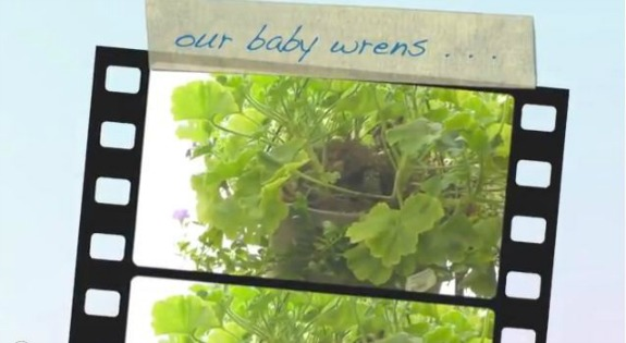 Watch Baby House Wrens Leave the Nest
