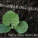 Planting a Three Sisters Garden