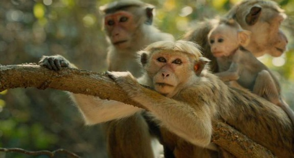 Monkey Kingdom - Photo used with permission from Disneynature.