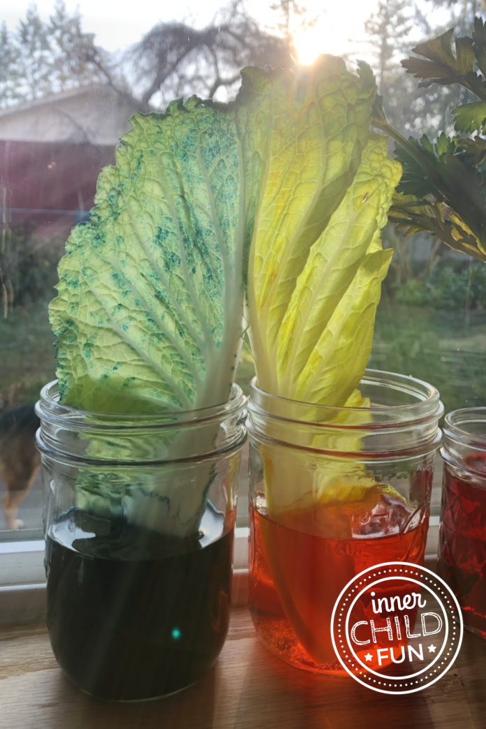 Cabbage Water Movement Experiment